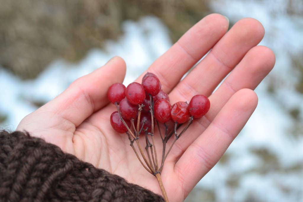 highbush cranberries in hand