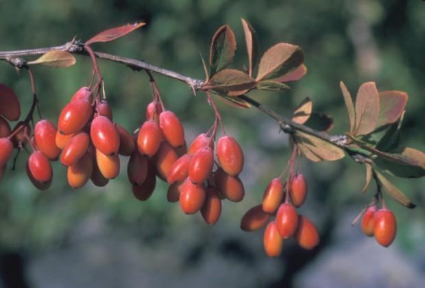 berberis-vulgaris-fr-fbramley