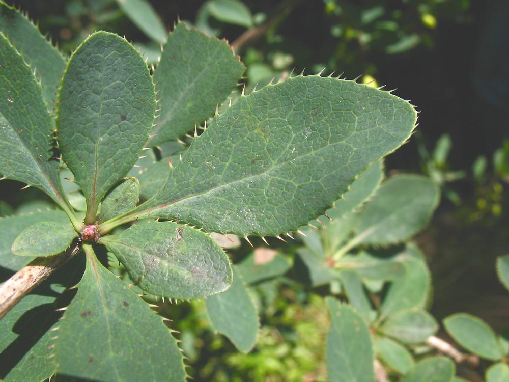 berberis-vulgaris-le-mlovit